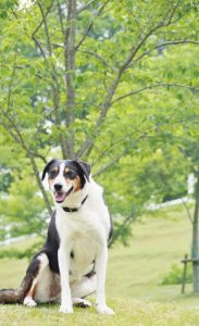 牧場犬「ルーシー」バースデーイベント @ 六甲山牧場 南エリアシープドッグショー会場