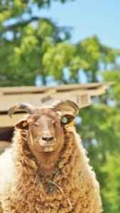 羊ガイドショー @ 六甲山牧場 南イベント広場