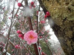 3/14撮影 吹雪の中咲く摩耶紅梅