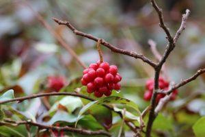 摩耶の森クラブ「紅葉と晩秋の植物観察会」 @ 摩耶山