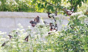 摩耶の森クラブ「摩耶の森昆虫日記〜アサギマダラ、大乱舞」 @ 摩耶山
