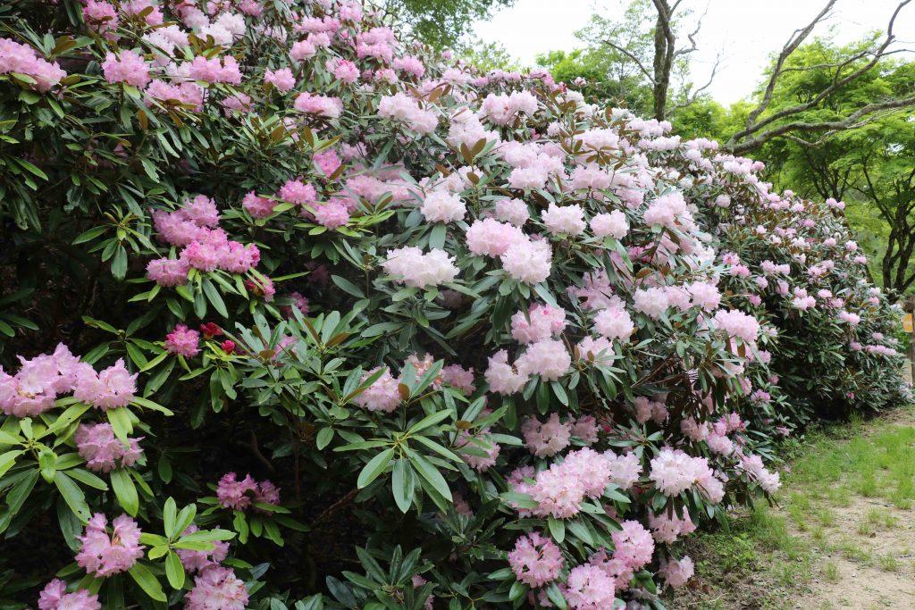 新緑 つつじ・しゃくなげ散策 @ 神戸市立森林植物園