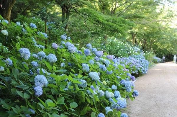 森の中のあじさい散策 @ 神戸市立森林植物園
